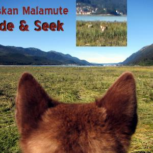 Alaskan Malamute Hide & Seek - Skadi and Freya - Sheep Creek Juneau Alaska. A moment in the life and love of dogs. They play for 2 hours a day with heavy cardio ball chasing playing hide & seek and grab ass! :) Thank you for your Kindness and Support!